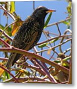 Starling With Sparrow Looking On Metal Print