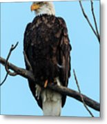 Stately Eagle Metal Print
