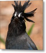 Stellar's Jay With Rock Star Hair Metal Print