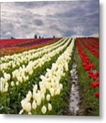 Storm Over Tulips Metal Print by Mike  Dawson