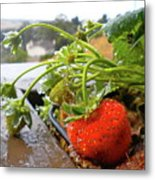 Strawberries And Rain Metal Print