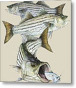 Striped Bass Metal Print by Kevin Brant