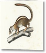 Striped Bush Squirrel, Paraxerus Flavovittis Metal Print