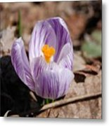 Striped Crocus Metal Print
