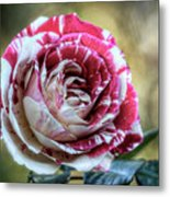 Striped Rose  Metal Print