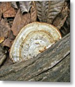 Striped Shelf Fungus - Basidiomycota Metal Print