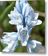 Striped Squill Emerging Metal Print