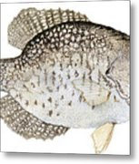 Study Of A Black Crappie Metal Print