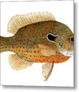 Study Of A Longear Sunfish Metal Print