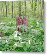 Stump By The Trilliums Metal Print