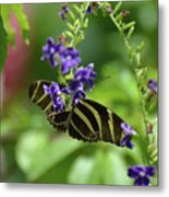 Stunning Black And White Zebra Butterfly In The Spring Metal Print