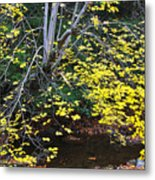 Sugar Maple Birch River Metal Print