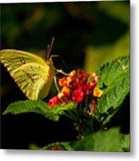 Sulpher Butterfly On Lantana Metal Print