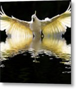 Sulphur Crested Cockatoo Rising Metal Print