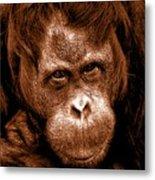 Sumatran Orangutan Female Metal Print