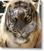 Sumatran Tiger-1440 Metal Print