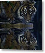 Sumatran Tiger Reflection Metal Print