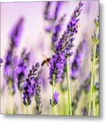 Summer Lavender  Metal Print
