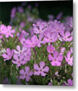 Summer Phlox Metal Print