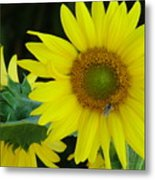 Sun Flower And Honey Bee Metal Print