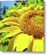 Sun Flower Art Sunlit Sunflower Giclee Prints Baslee Troutman Metal Print