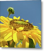 Sun Flowers Summer Sunny Day 8 Blue Skies Giclee Art Prints Baslee Troutman Metal Print
