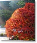 Sun Rays Over Old Japanese Maple Tree Metal Print