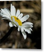 Sunbathing On A Daisy Metal Print