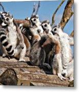 Sunbathing Ring-tailed Lemurs Metal Print