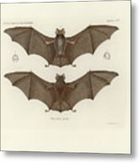 Sundevall's Roundleaf Bat Metal Print