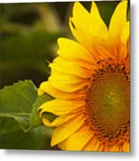 Sunflower-1 Metal Print