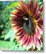 Sunflower 109 Metal Print