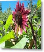 Sunflower 111 Metal Print