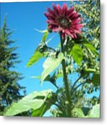 Sunflower 113 Metal Print