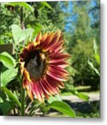 Sunflower 124 Metal Print