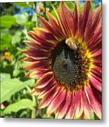 Sunflower 129 Metal Print