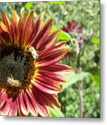 Sunflower 135 Metal Print