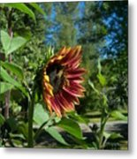 Sunflower 136 Metal Print