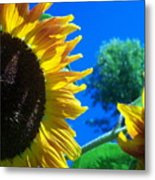 Sunflower 138 Metal Print