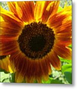 Sunflower 141 Metal Print