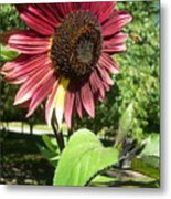 Sunflower 143 Metal Print
