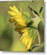 Sunflower 2016-1 Metal Print