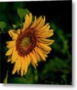 Sunflower 2017 11 Metal Print