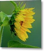 Sunflower 2017 2 Metal Print