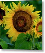 Sunflower 2017 9 Metal Print