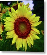 Sunflower After A Summer Rain Metal Print
