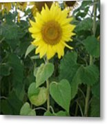Sunflower Amungst Sunflower's Metal Print