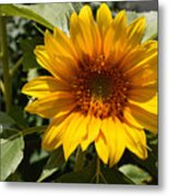 Sunflower Art- Summer Sun- Sunflowers Metal Print