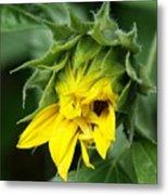 Sunflower Bud Metal Print
