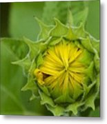 Sunflower Bud Metal Print